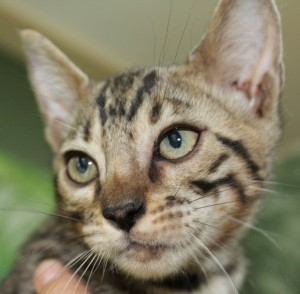Brown Spotted Bengal Kitten for sale in Texas