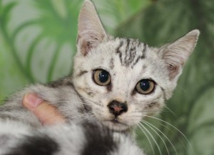 Silver Spotted Bengal Kitten for sale in Texas