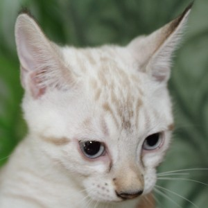 Seal Lynx spotted Bengal Kitten for sale in Texas