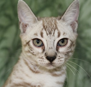 Mink Spotted Bengal Kitten for sale in Texas