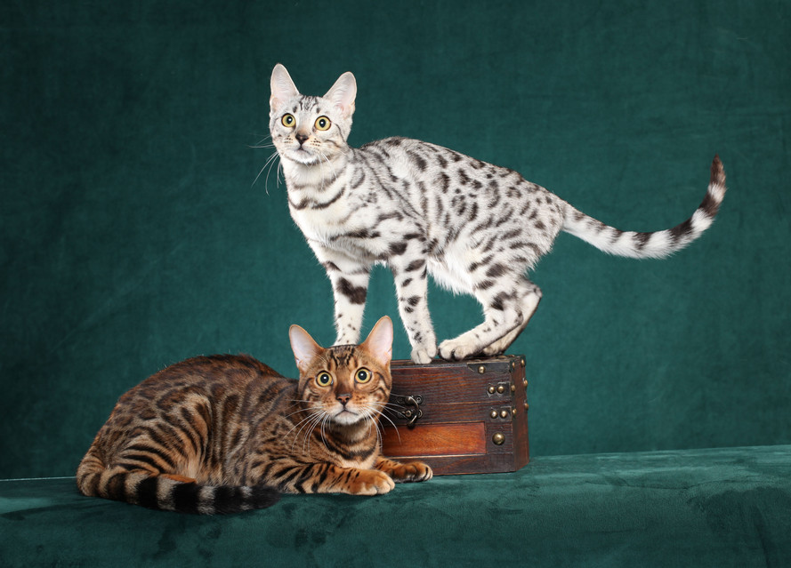 Silver & Brown Bengal Cats for Sale, Breeders in Texas ...Orange And White Bengal Cat