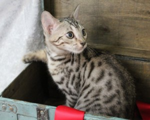Brown Spotted Bengal Kitten
