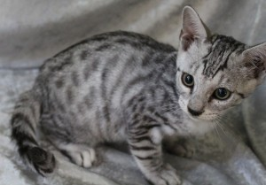 Amazon Bengals Silver Spotted Bengal Kitten