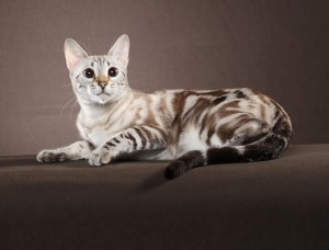 Seal Lynx Point Marble Bengal